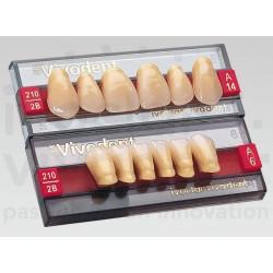 Denti SR-Vivodent ant sup forma A12 col 2B